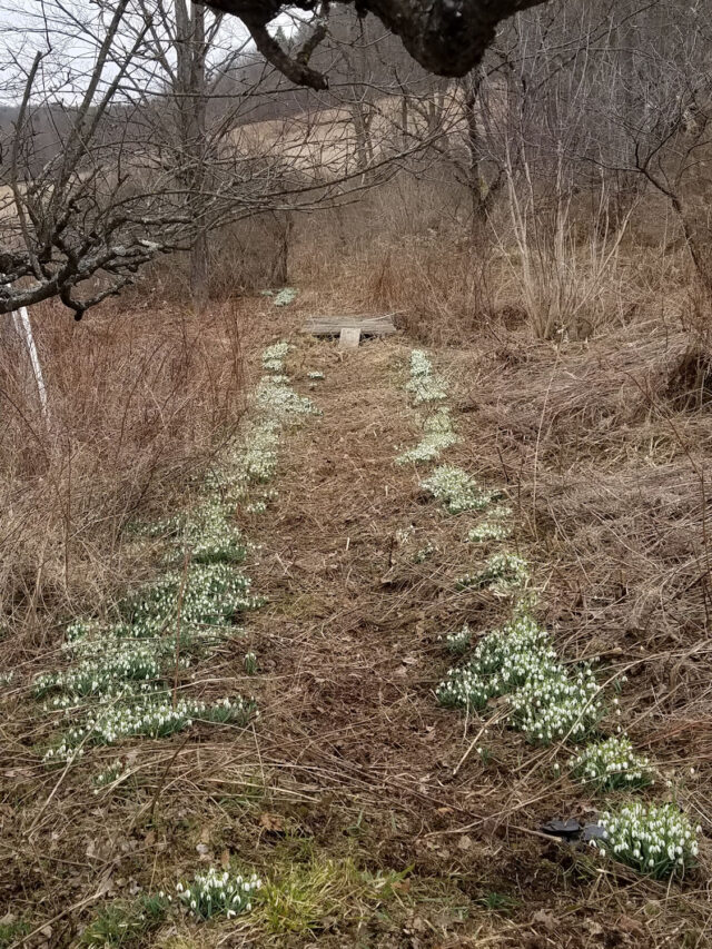 twenty-year-old snowdrop patch
