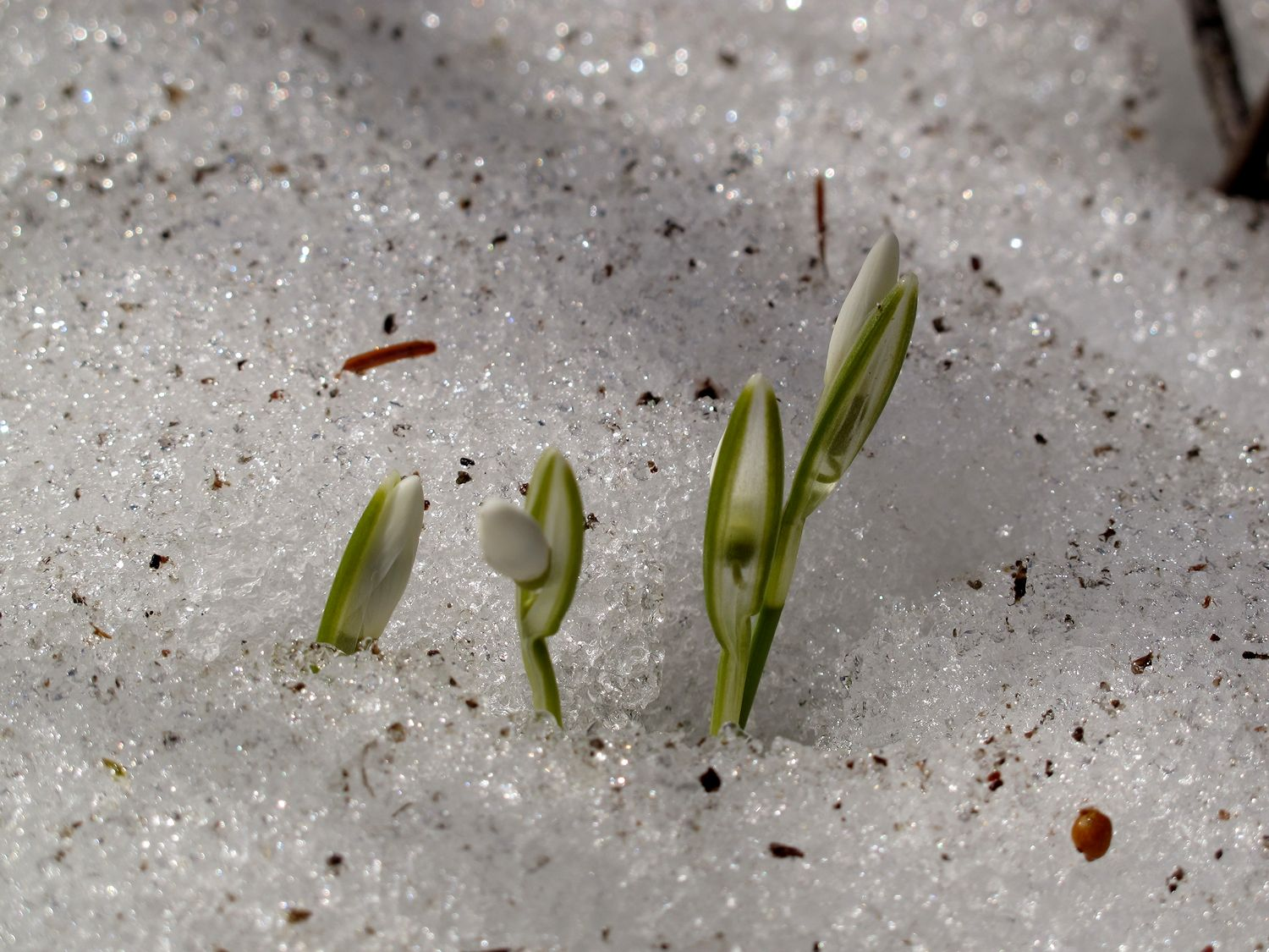 Spring Flowers Grow Under The Snowreally