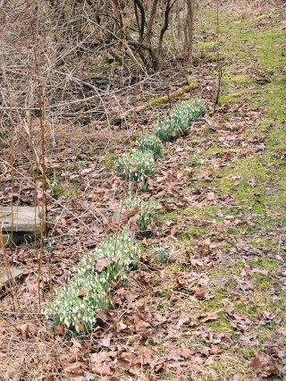 Galanthus nivalis in woods