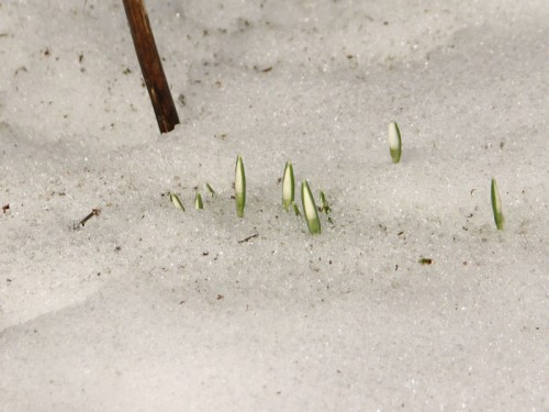 snowdrops barely above the snow