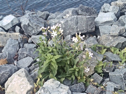 Soapwort on the St. Lawrence Seaway shoreline