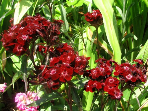 This is Sooty Sweet William. My sister grew it from seed. It is a deeper red than appears in this brightly lit photo, but isn't black by any means.