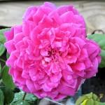 Sophy's Rose, a David Austin rose
