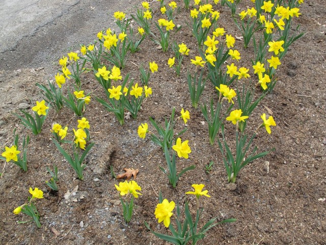 daffodils planted further apart