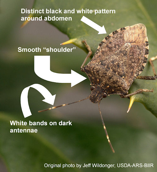 stinkbug anatomy