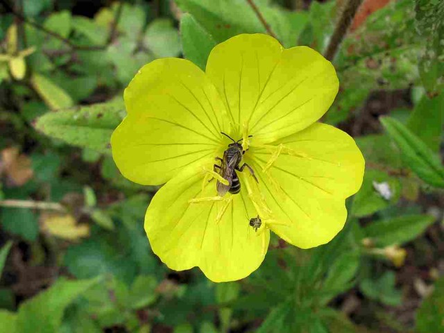 sundrops visited by insects