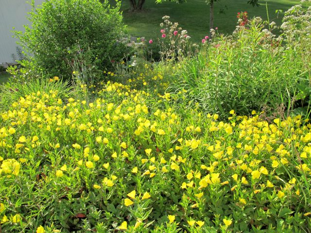 sundrops in the slope garden