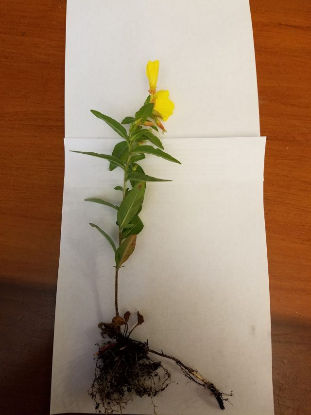 sundrops showing roots