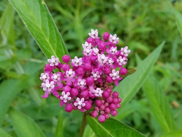 Swamp milkweed - Asclepias incarnata