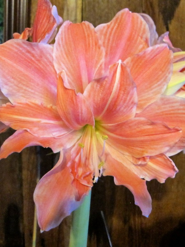'Sweet Nymph' amaryllis from Longfield Gardens