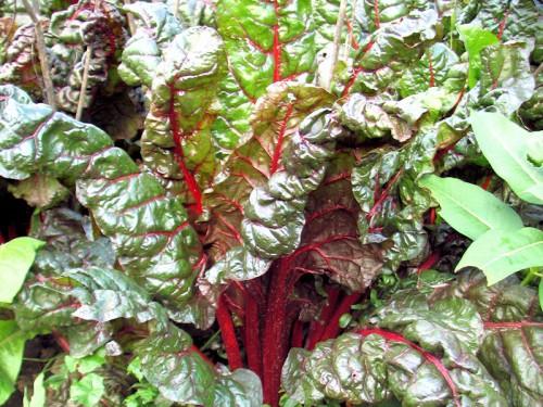 red ribbed swiss chard