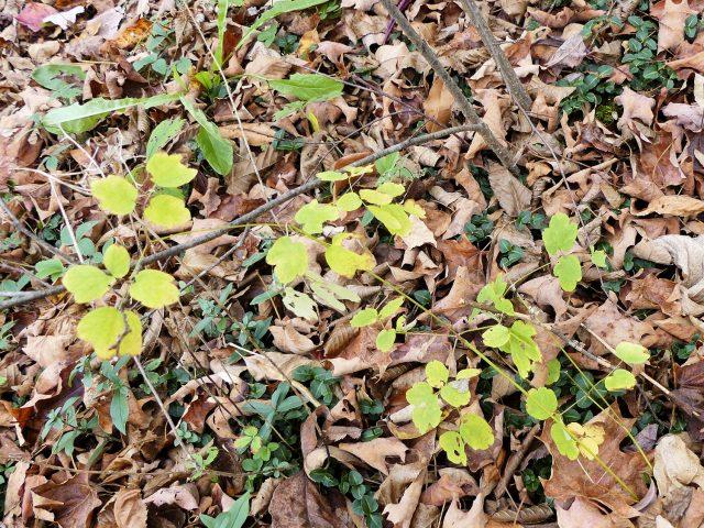 thalictrum pubescens