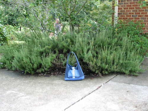 This rosemary was growing in Denny Werner's North Carolina garden. It even had a few blooms on it. My totebag is there to provide scale.