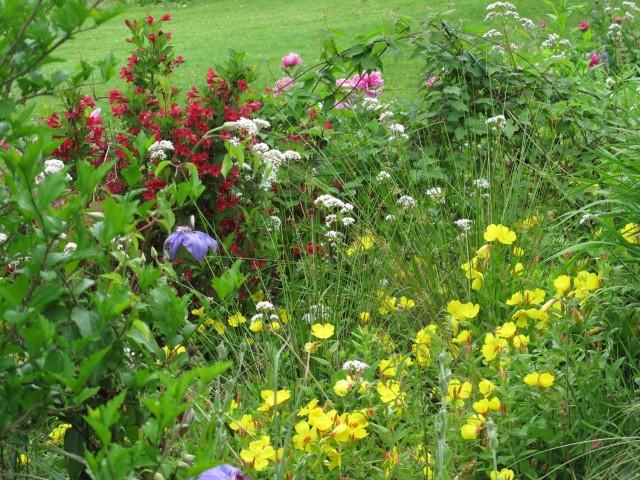 Garden heliotrope, sundrops