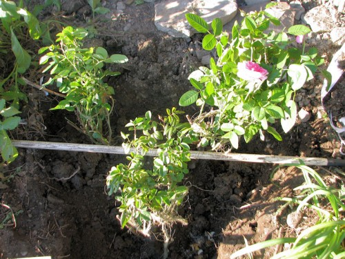 Three roses positioned in the planting hole