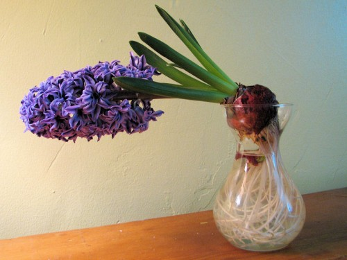 top heavy hyacinth in glass