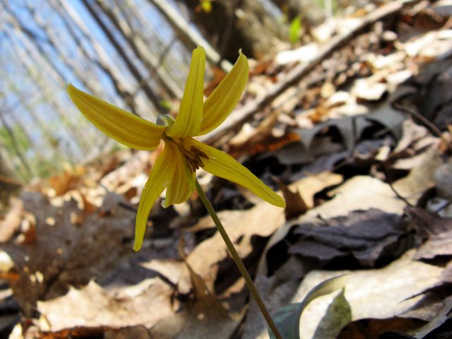 trout lily flower closeup