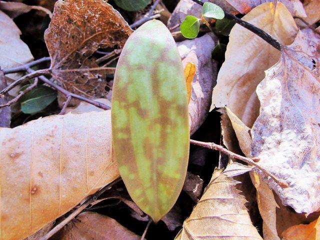 trout lily leaf detail