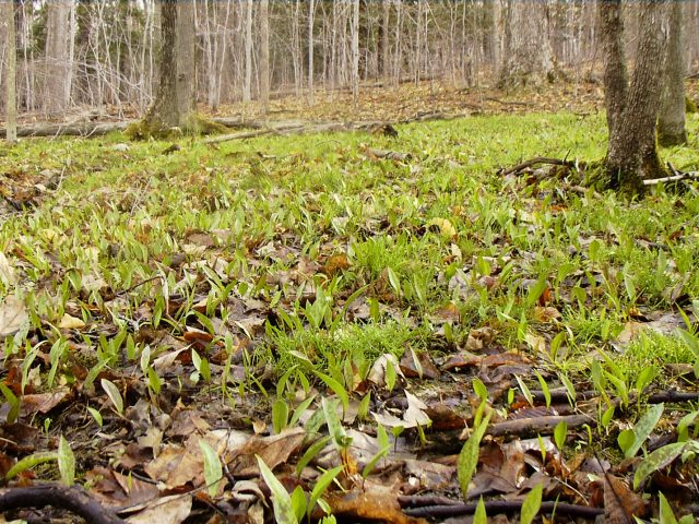 trout lily leaves only