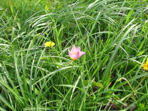 The petite 'Lilac Wonder' tulips got lost in the high grass.