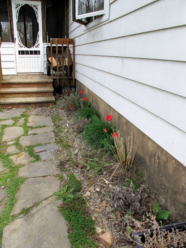 tulips in herb garden May 2015