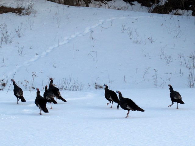 wild turkeys in the backyard