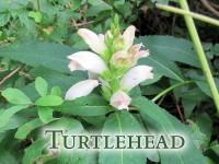 turtlehead featured image