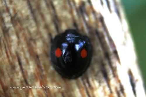 twice-stabbed ladybug by Jessica Walliser