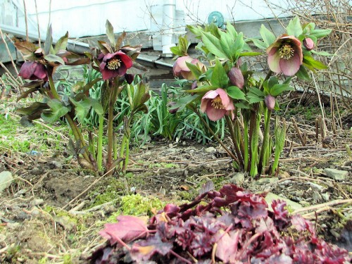 two hellebores from seedling