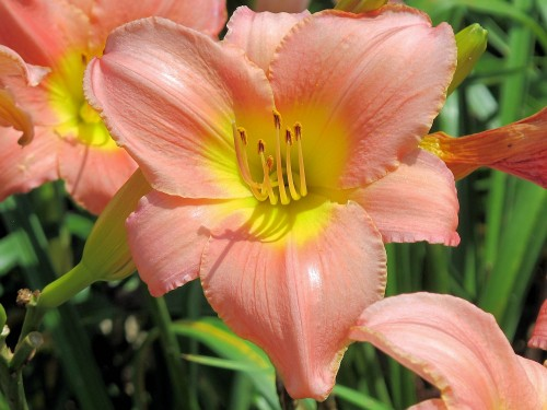 unknown pink daylily