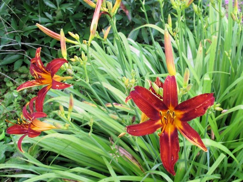 Unknown russet daylily blooming in my garden