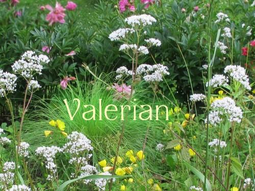 garden heliotrope, Valeriana officinalis