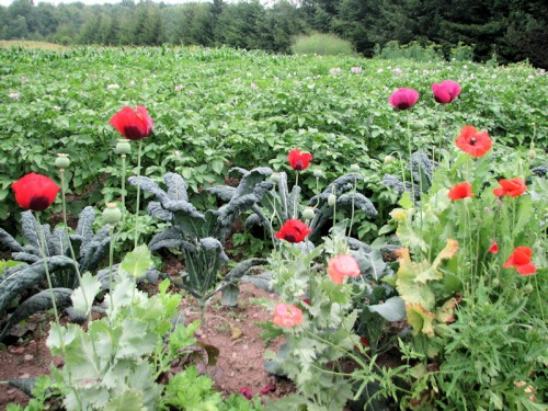 It's become a tradition with us to grow annual poppies in the vegetable garden.