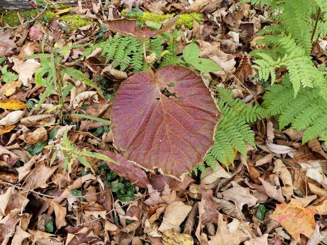 hobblebush, Viburnum alnifolium