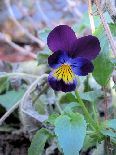 Viola tricolor Johnny-jump-up