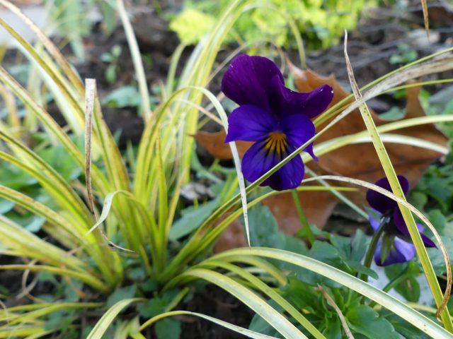 Purple viola with Acorus gramineus 'Ogon'