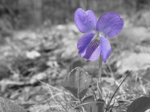 Violet, possibly Viola sororia