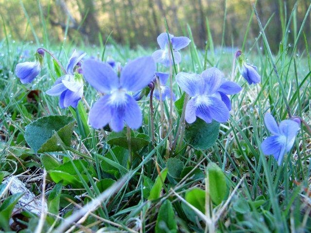violets Viola sororia