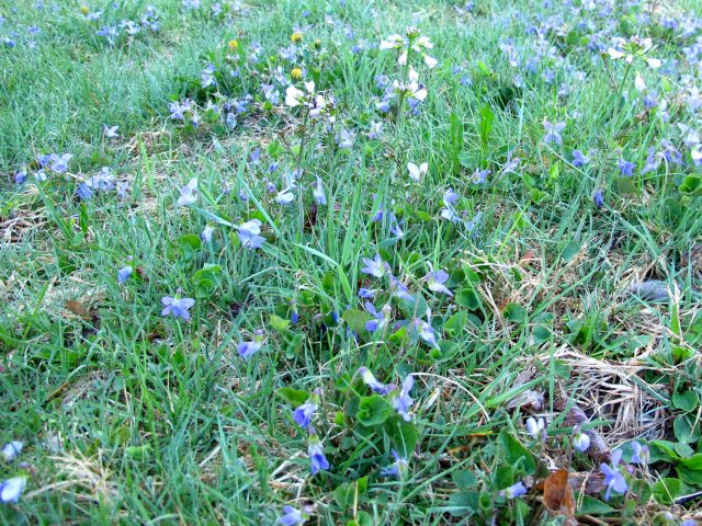 violets in a lawn