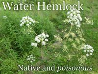 water hemlock featured image