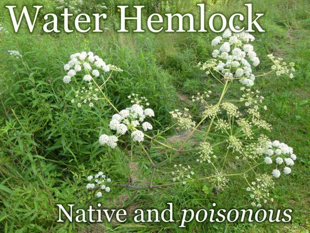 Water Hemlock Wildflower Wednesday