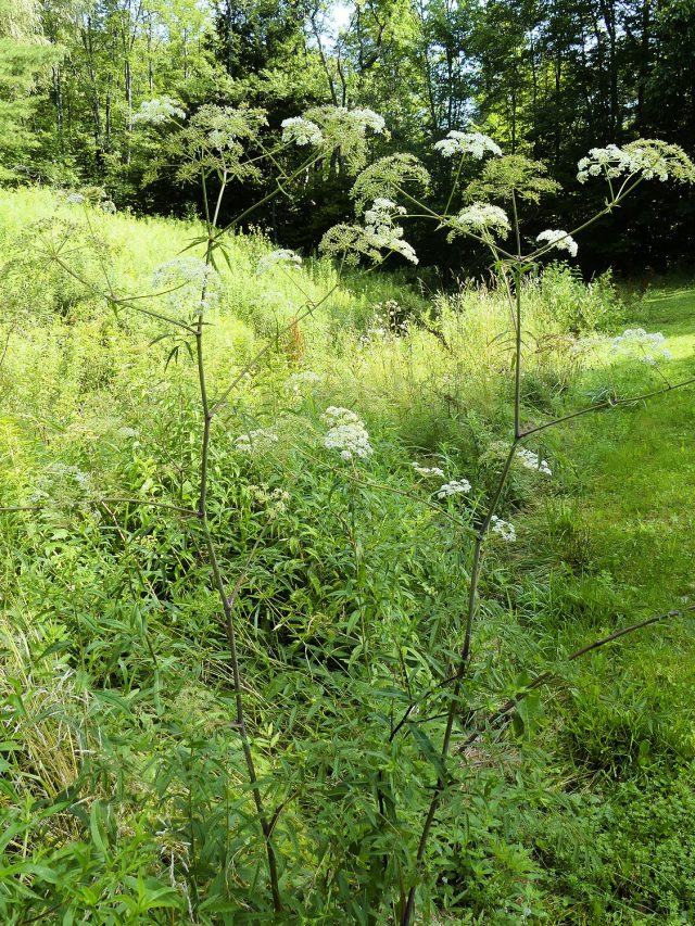 water hemlock full plant
