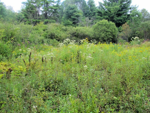 Joe Pye weed, flat-topped white aster, and goldenrod are all blooming in this wet meadow.
