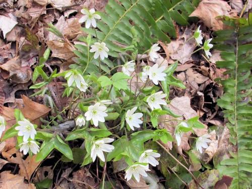 Hepatica acutiloba, Anemone acutiloba