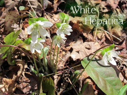 white liverwort, hepatica acutiloba, Anemone acutiloba