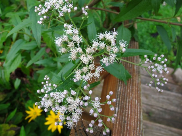 white snakeroot flower detail