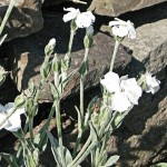 white form of rose campion, Lychnis coronaria