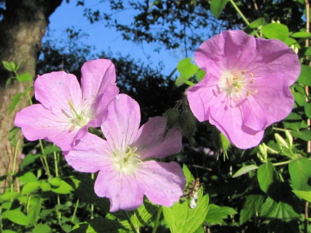 wild geranium, a spring-blooming native plant