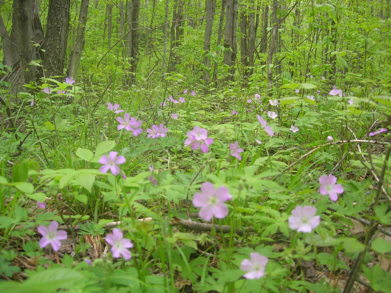 Wild Geranium: Wildflower Wednesday