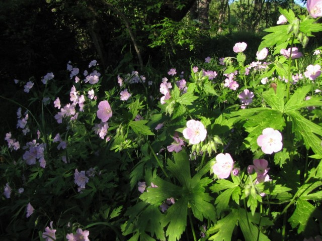 wild geranium, a spring-bloomer native to the U.S.
